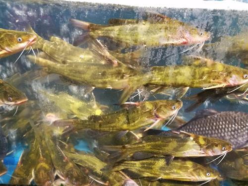 黄颡鱼机电路图