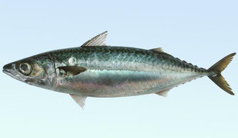 游泳速度最快的鱼是什么鱼