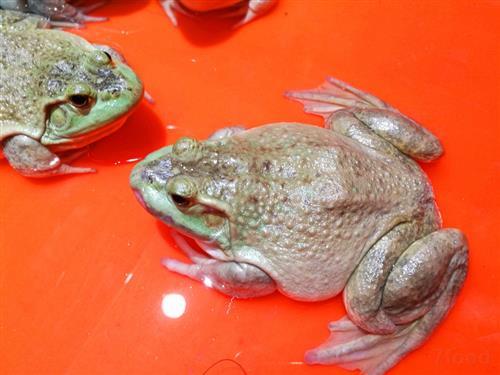 牛蛙泄殖系统结构图