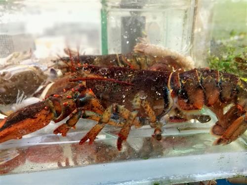 如何用塑料瓶制作海底龙虾动物图片