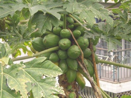 酸木瓜的功效与作用