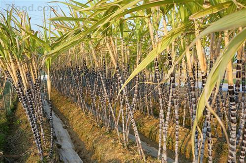 冬天是吃甘蔗的季节,吃甘蔗的6个好处和4个禁忌你都了解吗