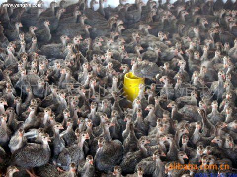 南成活率最高的珍珠鸡苗批发商 供应信息图片