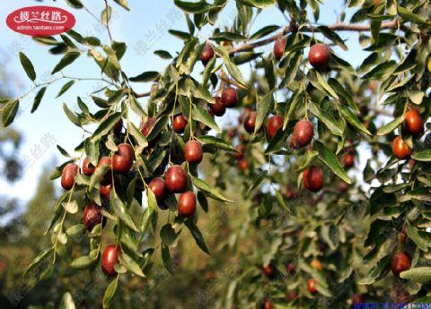 若羌红枣只在进入金秋九月中旬后分批进行采摘,枣树的生长环境干燥少