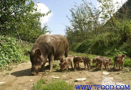 野猪最怕啥动物图片