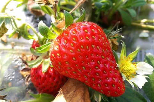 白草莓每斤突破百元 普通草莓价格大幅下跌