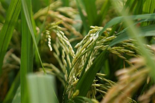 走出中国特色粮食安全之路——《中国的粮食安全》白皮书解读