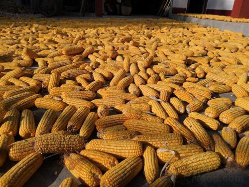 新季玉米即將上市價格或下跌 專家:來年或迎巨大利好
