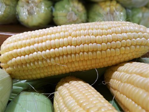 玉米胚结构示意图