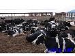 黑白花公牛育肥奶公牛